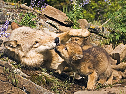 she-wolf with cubs. © Vibe Images/fotolia.com