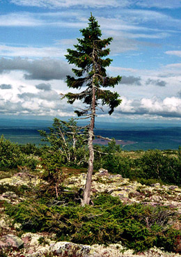 oldest spruce in the world: 'Old Tjikko' in Fulufjäll, Sweden. © Karl Brodowsky/Wikimedia Creative Commons