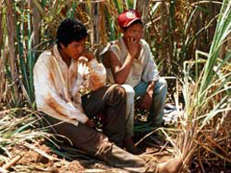 Guarani child labour on the sugar cane fields. © Survival International