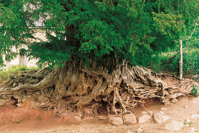 Fig. 2: Root system of a wild yew at Merdon Castle, Hampshire. © Tim Hills