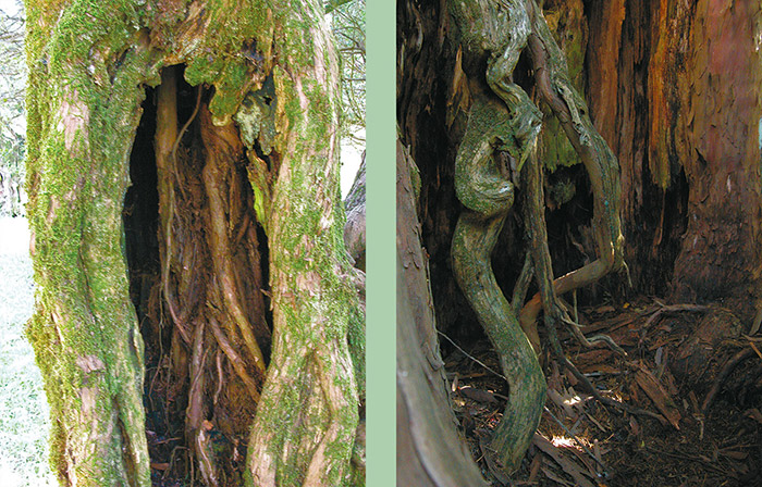 Fig. 4: Interior roots in hollow yew trees in Sardegna and in Turkey. © Fred Hageneder