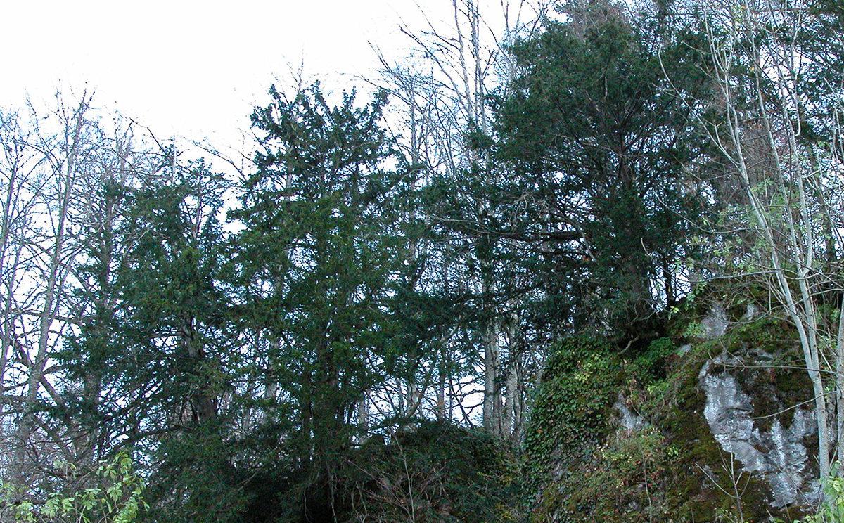 yew trees in the Duezce reserve, northern Turkey. © Fred Hageneder