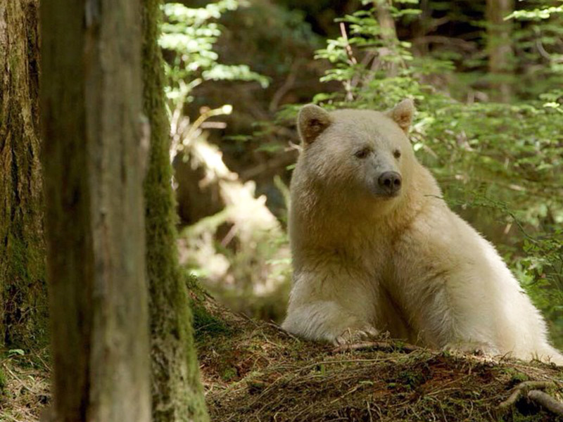 spirit bear in its home habitat. © jon rawlinson/creative commons