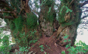 ancient yew tree at Defynnog, Powys. © Peter Norton