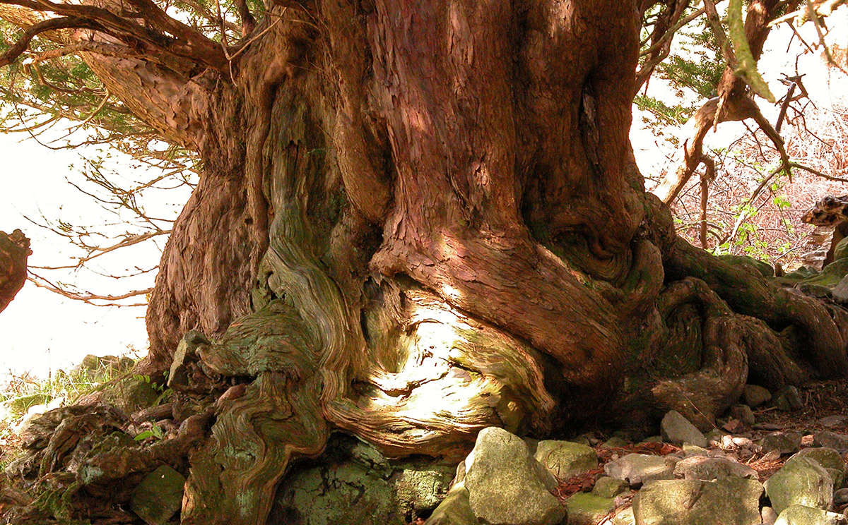 ancient yew Borrowdale April 2004 © Fred Hageneder
