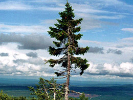 oldest spruce in the world: 'Old Tjikko' (excerpt) in Fulufjäll, Sweden. © Karl Brodowsky/Wikimedia Creative Commons