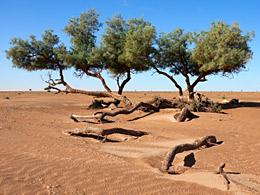 Tamarisk trees (Tamarix articulata) in the Sahara. © RosaFrei/istockphoto.com