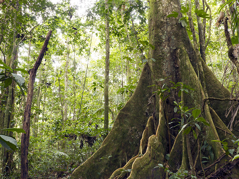 large buttressed tree in primary rainforest in Ecuador. © Dr. Morley Read/shutterstock.com