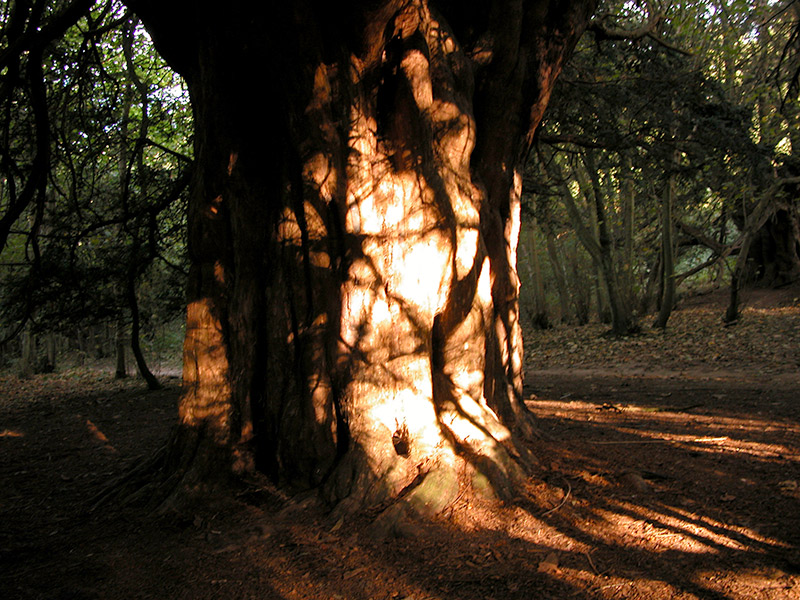 light and shade projections on an old yew tree, Newlands Corner, Surrey, England. © Fred Hageneder