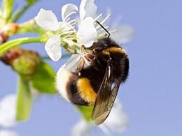 bumble bee on tree flower. © lava777/fotolia.com