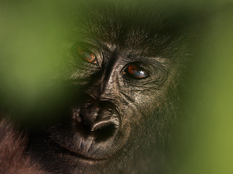 portrait of a mountain gorilla, Virunga National Park. © Karel Bartik/shutterstock.com